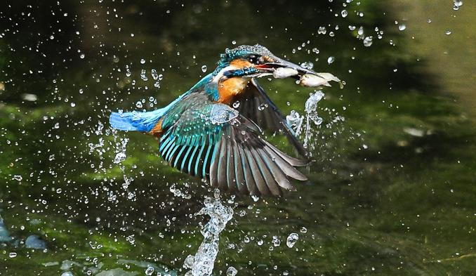 Seven Stunning Pictures Of Kingfishers In Action Worlds top