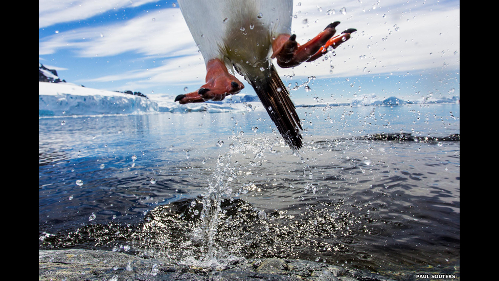 140820145956_24_leaping_gentoo_penguin